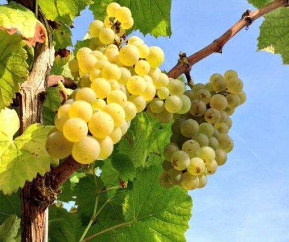 Super Muskaat druiven